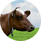 aishir icon - Dairy cattle