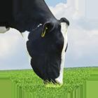 golshtin icon - Dairy cattle