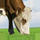 simmen icon - Dairy cattle